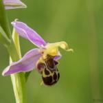 Bienenragwurz Ophrys apifera