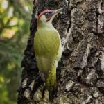 Grünspecht (Picus viridis) Männchen