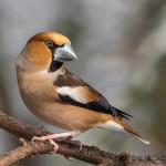 Kernbeißer (Coccothraustes Coccothraustes) Männchen