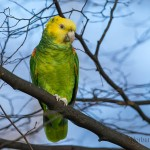 Gelbkopfamazone (Amazona oratrix) Rosensteinpark