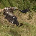 Rotmilan (Milvus milvus) Flug