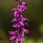 Mannsknabenkraut (Orchis mascula)