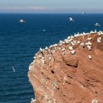 Vogelfelsen Helgoland