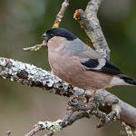 Dompfaff (Pyrrhula pyrrhula) Weibchen