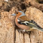 Buchfink (Fringilla coelebs) Männchen