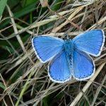 Himmelblauer Bläuling, Männchen (Polyommatus bellargus)