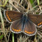 Himmelblauer Bläuling Weibchen (Polyommatus bellargus)
