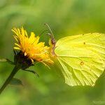 Zitronen-Falter,Gonepteryx rhamni