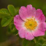 Heckenrose (Rosa canina)